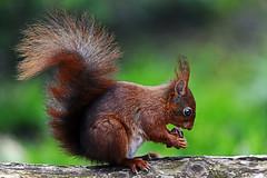 Eichhörnchen (Michael Döring) Tags: gelsenkirchen bismarck zoomerlebniswelt zoo eichhörnchen squirl tc17eii afs200mm20gvrii d850 michaeldöring