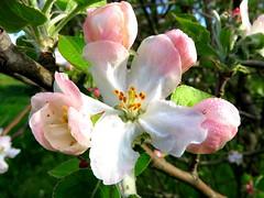 IMG_0016x (gzammarchi) Tags: italia paesaggio natura pianura campagna ravenna borgomontone fiore melo