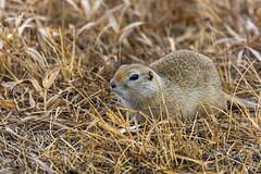 Richardson's ground squirrel | Alberta, Canada (TheNovaScotian1991) Tags: richardsonsgroundsquirrel nikond7100 afsdxnikkor55200mmf456gedvrii closeup prairie animal rodent beautiful cute gopher flickertail dakrat alberta canada grass spring