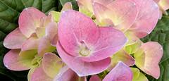 pink Hydrangea, local garden center (Martin LaBar) Tags: southcarolina pickenscounty hydrangea hydrangeaceae pink flowers lovely