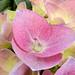 pink Hydrangea, local garden center