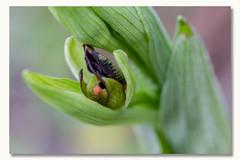 """Ophrys araignée """"La naissance"""" (pascal sabourin) Tags: flore ophrysaraignée migneauxances orchidée poitoucharentes france vienne fleursauvage"""