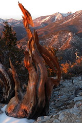 Fenghuang (The Phoenix) (Bregalis) Tags: ancient bristlecone landscape longaeva great basin national park pine pinus range snake divide trail tree trees usa wild wilderness nature natural weathered wood wind ice snow elevation mt washington oldest living white mountains california currey schulman prometheus methuselah wheeler peak nevada anthropocene bonsai penjing patriarchy ecofeminism phoenix fenghuang firebird feminine vandalism botanical taxonomy biosphere universe infinity star wildflower organic deepecology greatbasinnationalpark yinyang ageofreason ageofenlightenment botanic lehmancaves