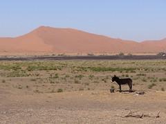 The donkey and the dune, Merzouga (costarob83) Tags: colours nature composition morocco merzouga dune desert donkey winter berber nomad