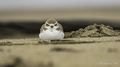 "Snowy Plover - ""Stop calling me cute!"" (Bob Gunderson) Tags: birds california charadriusalexandrinus crissyfield northerncalifornia plovers presidio sanfrancisco shorebirds snowyplover"