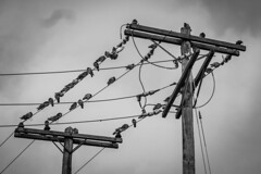Conference of the Birds (tim.perdue) Tags: conference birds power lines pole wooden perch flock pigeon animal nature bird roost black white bw monochrome sky clouds electric utility panasonic gx7 lumix 35100mm mirrorless avian wings feathers plumage flight kit group