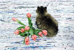 DSC_0590-1 (Khallik) Tags: tulip tulips flowers flower cat kitty pet cuddly pink