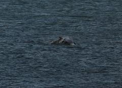 IMG_5448 (monika.carrie) Tags: monikacarrie wildlife scotland aberdeen dolphins dolphin cetacean mammals