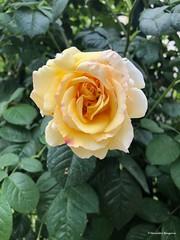 rose-jaune-vert© (alexandrarougeron) Tags: photo alexandra rougeron flickr fleurs nature plante végétal végétale ville beauté couleur frais