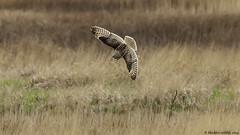 death from above (blackfox wildlife and nature imaging) Tags: nikon d300s sigma150600c shortearedowl bif raptor birdsofprey wirral wildlife