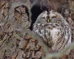 Bosuil (corrie.nijenmanting) Tags: bosuil uil owl bird tawnyowl