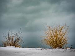 winter scene (wwnorm) Tags: picaday2019 shrubbery snow winter