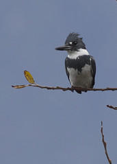 Belted Kingfisher, Tillamook Co., OR_5112(2) (Patterns and Light) Tags: 2018 oregon wheeler megaceryle alcyon megacerylealcyon female hunting hunter blue bird