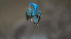 Kingfisher (wild) - Diving in (Ann and Chris) Tags: avian amazing aqua bird beautiful close cute colourful blue green diving fishing gorgeous impressive incoming kingfisher stunning unusual wild waterbird