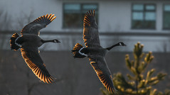 Back-lit as the sun goes down  !!!! (wesleybarr1962) Tags: geese canadageese brantacanadensis