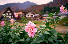 Autumn flowers in Japan (KaeriRin) Tags: japan autumn gifu prefecture touristicspot tourism travel mountains sony alpha sony7m2 7mii 28mm 28mm20 sel2820 leaves sky japanese