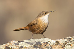 Canyon Wren (Ian Kelshaw) Tags: canyon wren okanagan bc