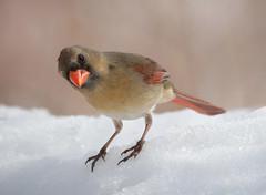 Cardinal (jlp771) Tags: bird cardinal femelle oiseau canon 80d