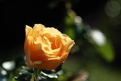 Amber Queen      Boyer Onyx  F = 100 (情事針寸II) Tags: 黄色 クローズアップ 自然 花 薔薇園 薔薇 closeup amber bokeh projectionlens nature fleur flower rosegarden rose kasteelcoloma boyeronyxf100