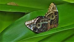 Butterflies, Two for the price of one (wilma HW61) Tags: vlinder butterfly mariposa papillon schmetterling farfalla insect insecte morpho morphospec natuur nature natur naturaleza netherlands nederland niederlande nikond90 holland holanda vlindertuin paysbas paesibassi paísesbajos europa europe wilmahw61 wilmawesterhoud closeup wow smileonsaturday butterflies