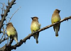 Cedar Waxwings 3 (Kelly Preheim) Tags: cedar waxwings