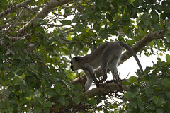 IMG_7209 (Rorals) Tags: monkey primate animal mammal safari wildlife africa southafrica kruger vervet nature