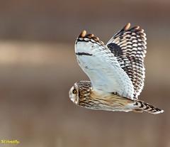 Short eared owl at Dee Estuary (Ted Humphreys Nature) Tags: shortearedowl owls raptors birdsofprey predators tedhumphreysnature his seasons good