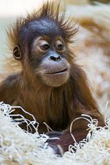 Baby orangutan in the wood wool (Tambako the Jaguar) Tags: orangutan orang utan monkey ape primate red baby young cute sitting posing portrait wood wool munich münchen hellabrunn zoo germany nikon d5
