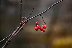 Winter rain (pioytre) Tags: rain nature red waterdrops water plant tree wet exquisite