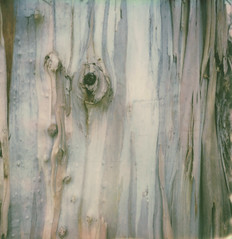 eucalyptus (lawatt) Tags: eucalyptus bark tree channelislands santacruzisland film instant polaroid sx70