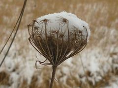 Schneekappe (Jörg Paul Kaspari) Tags: centre écologique hosingen wildemöhre winter schnee daucus carrota seedhead ösling snow queenanne'slace schneekoppe schneekappe schneekrone