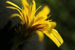 Looking close... on Friday - Yellow (Ramunė Vakarė) Tags: lookingcloseonfriday yellow hypochaerisradicata catsear flatweed falsedandelion plant nature lithuania eičiai ramunėvakarė grass