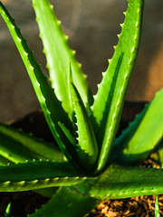 Green aloe vela closeup (www.icon0.com) Tags: buds spring sunlight makeup leaves rainingday thailand season cosmetic oxygen tripped grow skincare spa tree water extract closeup background plant detail skinlotion drop soup botany bright consumerproducts ozone summer agriculture fertile herb organic macro green nature texture wet health leaf outdoor tropical foliage environment healthy garden growth fresh treating