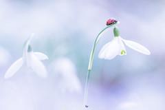 Lieveheersbeestje op sneeuwklokje  | ladybug on snowdrop (Judith_Borremans) Tags: lieveheersbeestje sneeuwklokje bloem insect ladybug spring voorjaar soft pastel natuur natuurfotografie workshop