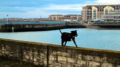 Dog on Middleton North Pier, Hartlepool (Æðelstan Draca) Tags: dog pier water hartlepool county durham england uk