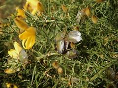 Piezo pile-up!! (rockwolf) Tags: piezodoruslituratus punaise gorseshieldbug hemiptera pentatomidae heteroptera insect gorse radbrook shrewsbury shropshire rockwolf