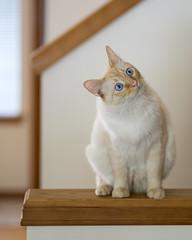 Fascinated (vtom61) Tags: cat cutecat flamepoint flamepointsiamese sonya7riii sonyfe85mmf18