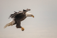 Bald Eagle (Lynn Tweedie) Tags: loessbluffsconservationarea baldeagle 7dmarkii feathers winter tail sigma150600mmf563dgoshsm wing eos bird canon beak missouri animal