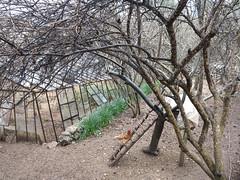 chicken house (squeezemonkey) Tags: turkey geyikbayiri hen chicken bird greenhouse chickencoop tree ladder