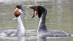Great Crested Grebe (LouisaHocking) Tags: waterfowl cardiff nature wales southwales british bird duck wild wildlife water lake dock buteeastdock bute butetown greatcrestedgrebe grebe animalbehaviour courtship mating behaviour