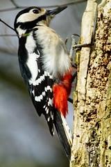 DSC04180 - Great spotted Woodpecker (steve R J) Tags: great spotted woodpecker south hanningfield reservoir ewt reserve essex birds british