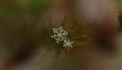 mar19 2019 1 (Delena Jane) Tags: delenajane dfo macro snowflake newfoundland ngc winter canada closeup pentaxart