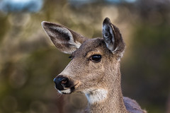 Doe portrait (Brown Acres Mark) Tags: blacktaileddeer odocoileushemionuscolumbianus doe cascademountains jacksoncounty oregon usa markheatherington deer mammal