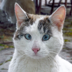 El Gato Blanco (flying cats (AKA Penny Carlson)) Tags: white cat blueeyes portrait wild