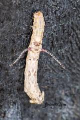 Unknown Cattepillar, Timbavati, Kruger National Park, Jan 2019 (roelofvdb) Tags: 2019 date january knp moth mothsofsafrica place satara year unknowncatteplillar