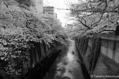 Kanda River B&W (takashi_matsumura) Tags: kanda river takada waseda shinjukuku tokyo japan ngc bw nikon d5300 black white monochrome 桜 神田川 早稲田 新宿区 東京 afp dx nikkor 1020mm f4556g vr