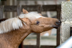 This wall is tasty (tonguedevil) Tags: outdoor outside countryside spring nature horse equine farm barn colour light shadows animal pet pony