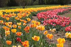 IMG_4624 Buon fine settimana a tutti (Betti52) Tags: tulipani colori scandicci firenze italia post 12042019