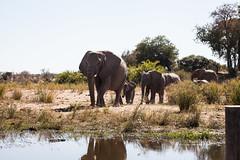 Elephant Family (mplatt86) Tags: south animals africa elephant elephants trees safari savannah water animal travel