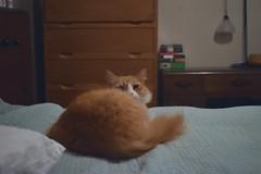 Ball of fluff    (Jimmy) (rootcrop54) Tags: cc100 jimmy orange ginger longhaired male tabby fluffball fluffy neko macska kedi 猫 kočka kissa γάτα köttur kucing gatto 고양이 kaķis katė katt katze katzen kot кошка mačka gatos maček kitteh chat ネコ cc300